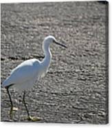 Snowy Egret Walk Canvas Print
