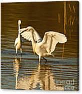 Snowy Egret Wingspan Canvas Print
