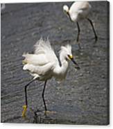 Snowy Egret With Fish No.2 Canvas Print