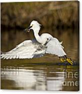 Snowy Egret With Lunch Canvas Print