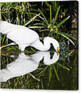 Snowy Egret With Reflection Canvas Print