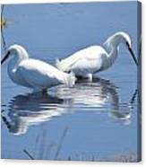 Snowy Egrets With Reflection Canvas Print