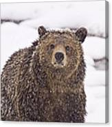 Snowy Grizzly Canvas Print