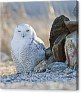 Snowy Owl Among The Rocks Canvas Print