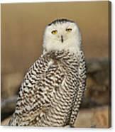 Snowy Owl Female Canvas Print
