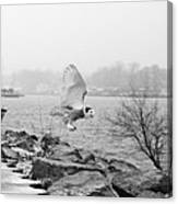 Snowy Owl In Flight Canvas Print