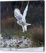 Snowy Owl In Florida 10 Canvas Print