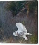 Snowy Owl In Florida 11 Canvas Print