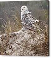 Snowy Owl In Florida 14 Canvas Print