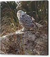 Snowy Owl In Florida 15 Canvas Print