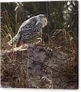 Snowy Owl In Florida 16 Canvas Print