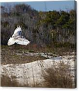 Snowy Owl In Florida 18 Canvas Print