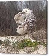 Snowy Owl In Florida 4 Canvas Print