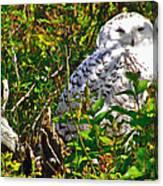 Snowy Owl In Salmonier Nature Park-nl Canvas Print