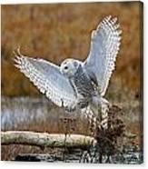 Snowy Owl Landing Canvas Print