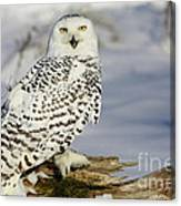 Snowy Owl On A Winter Hunt Canvas Print