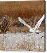 Snowy Owl On The Hunt Canvas Print