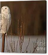 Snowy Owl Pictures 52 Canvas Print