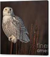Snowy Owl Pictures 64 Canvas Print
