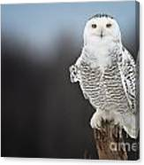 Snowy Owl Pictures 69 Canvas Print