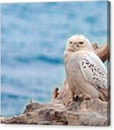 Snowy Owl Resting On Log Canvas Print