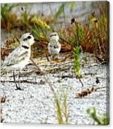 Snowy Plover And Chick Canvas Print