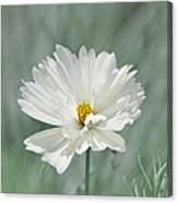 Snowy White Cosmos Canvas Print