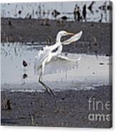 Snowy White Egret Canvas Print