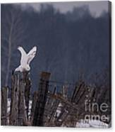 Snowy Wings Up Canvas Print