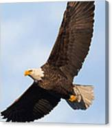 Soaring American Bald Eagle Canvas Print