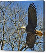 Soaring Bald Eagle Canvas Print