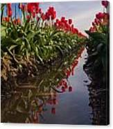 Soaring Crimson Tulips Canvas Print