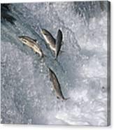 Sockeye Salmon Oncorhynchus Nerka Canvas Print