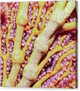 Soft Corals 1 Canvas Print