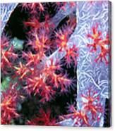 Soft Corals 18 Canvas Print