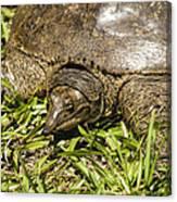 Florida Soft Shelled Turtle - Apalone Ferox Canvas Print