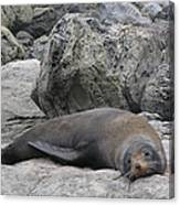 Soft Life Seal Canvas Print
