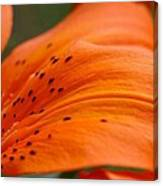 Soft Lily Canvas Print