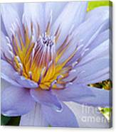 Soft Mauve Waterlily Canvas Print