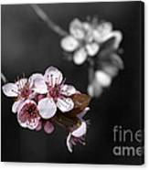 Soft Pink Blossom Canvas Print