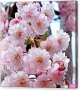 Soft Pink Blossoms Canvas Print