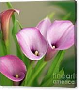Soft Pink Calla Lilies Canvas Print