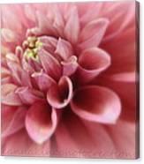 Soft Pink Dalia Canvas Print