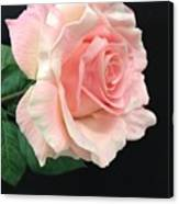 Soft Pink Rose 1 Canvas Print