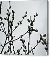 Soft Pussy Willows - Hard Gray Sky Canvas Print