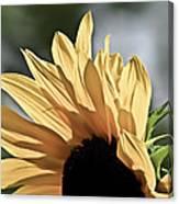 Soft Sunny Sunflower Canvas Print