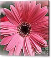 Softly In Pink - Zinnia Canvas Print