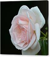 Softly Pink - Rose Canvas Print