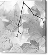 Softness Of Maple Leaves Monochrome Canvas Print