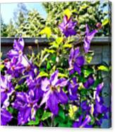 Solina Clematis On Fence Canvas Print
